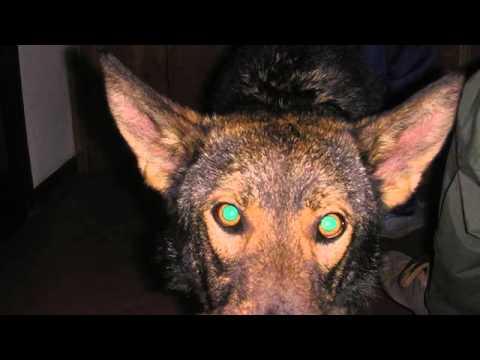 cane lupo italiano ( où Chien-Loup Italien)