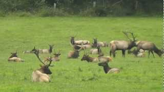 Big Herd of Nooksack Elk In the Rut - September 2012