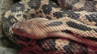 Shulba (Pituophis lineaticollis) - Zoológico de San Juan de Aragón