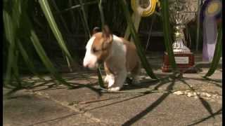 Mini Bull Terriers WeShootit promotiefilm From Friar