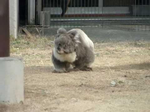コアラのミクちゃん地面を歩く