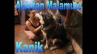 Kanik The Alaskan Malamute with Chris Curtis and the DTG