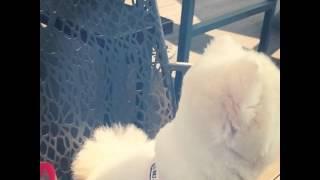 포메라니안 자두 / Pomeranian JADU /ポメラニアン スモモ