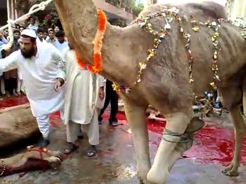 camel cutting at our slather house in mumbai.flv