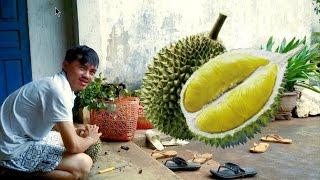 Picking Durian (Đi nhặt sầu riêng)