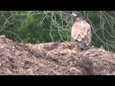 Decorah Eagles   Four eating the food Dad brought and flies away with it  7-15-