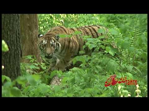 Амурский тигр Спасение осиротевших тигрят.