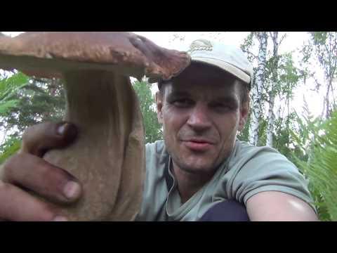 Белый гриб огромных размеров белые грибы 24 июля 2017 Сибирь Тайга лес