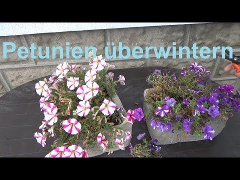 Petunien überwintern Petunien winterfest machen Winter Frost Petunia