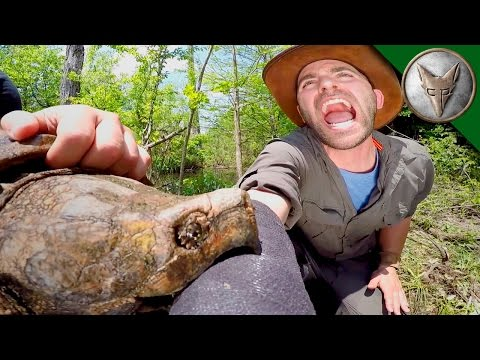 CRAZY Alligator Snapping Turtle Bite!