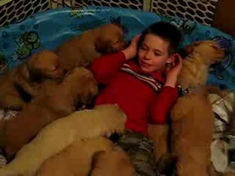 Thumb 14 Golden Retriever Puppies Eat Boy ALIVE
