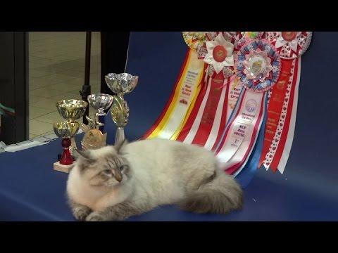 Немного из истории выставок кошек