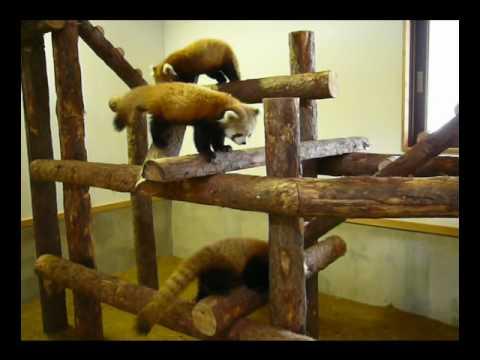 ガオー!茶臼山動物園の仲良し子レッサーパンダーズ