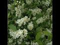 Olavi Virta - Tuoksuvat tuomien valkoiset kukkaset