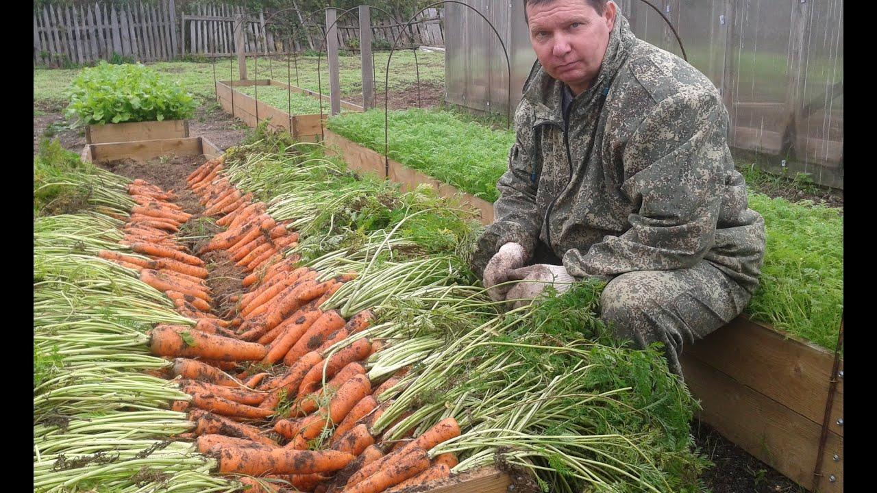 Выращивание моркови на продажу 60