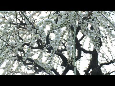 大垣市 「光受寺」 ~梅の花~