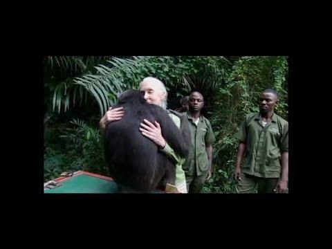Esta chimpancé va a hacer algo durante su liberación que te hará llorar...