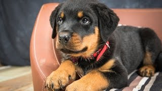 Tiny - Rottweiler Puppy - 2 Weeks Residential Dog Training