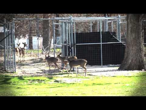 Deer Chute video