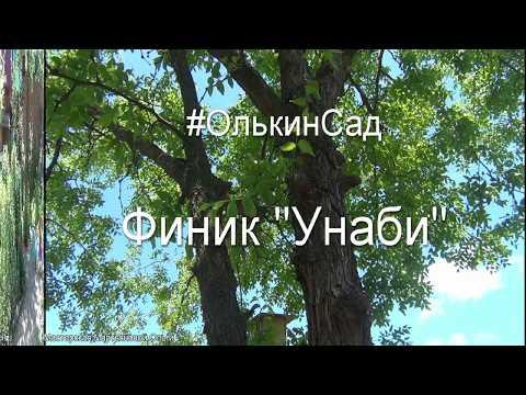 Финик УНАБИ. Посадка дерева, уход, формирование кроны, плоды.