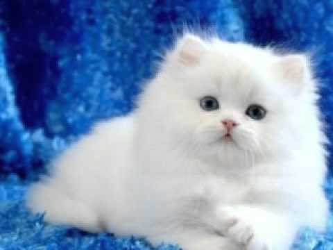 Toy Persian Cat