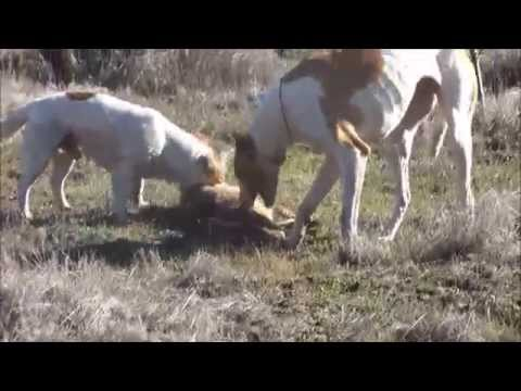 Caza de liebres con Galgos familia Mondaca y amigos 2014