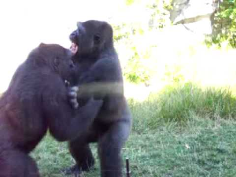 Gorilla Fight Video