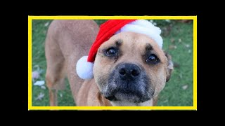 | Dog Rescue StoriesSenior Sweetie Watches 375 Pets Get Adopted While She Still Waits