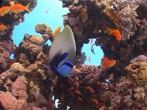 emperor angel fish