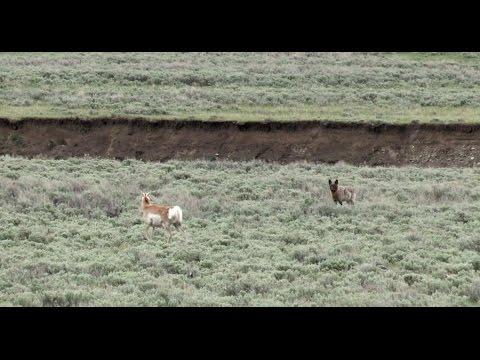 """Yellowstone: Wolves & Antelope"" (2015)"