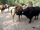 Bull Honky's Big Mistake