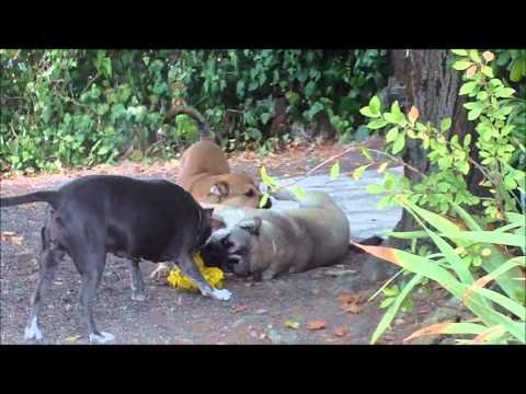 Vidéos Dogue de Majorque, chiens de race Dogue de Majorque