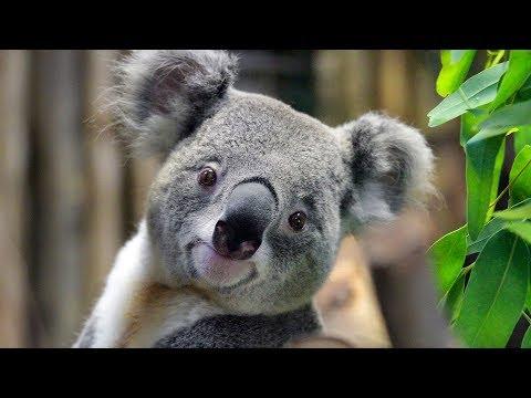 変な声で鳴くコアラが変過ぎる!?可愛いイメージとは全く逆の映像