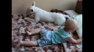 Bull Terrier Manowar grown horse - Лошадка подросла