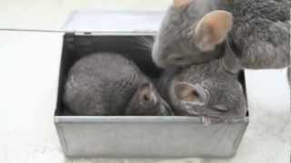 Chinchilla dad shows his babies how to take a dust bath!