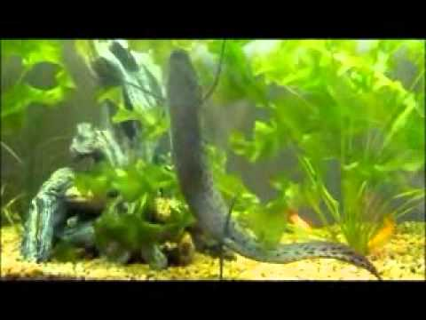 West African Lung Fish Feeding on dragon fish