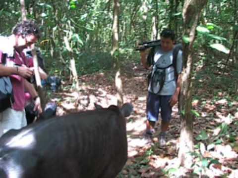 TAPIR & PUMA IN CORCOVADO COSTA RICA