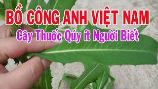 Bồ Công Anh Việt Nam Loại cây quý như vàng giờ mới được khám phá
