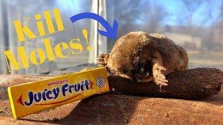 How to Kill Moles for .35 CENTS! Juicy Fruit Gum Really Does Kill Moles!