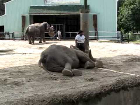 Florida Elephant Sanctuary http://wn.com/Central_Fl_Zoo's_Explanation_for_bullhook_use
