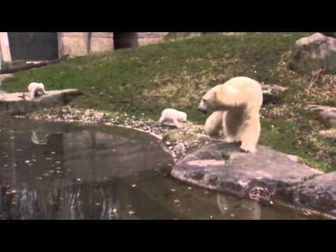 Raw: Twin Polar Bear Cubs Make Munich Zoo Debut
