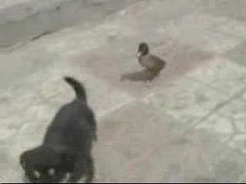 duck and dog (imprinting)
