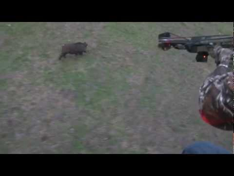 First Crossbow Helicopter Hog Hunt