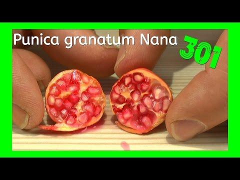 Granatapfel durch Samen vermehren, erste Ernte