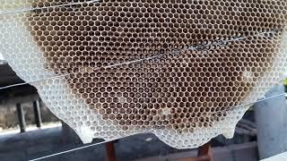 """Cách nhận biết đàn ong mật mất chúa đơn giản """"săn bắt đồng nai """""""