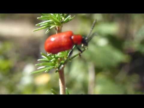 Scarlet lily beetle - Rauð Liljubjalla tekur flugið og flýgur burt - Skordýr - Bjöllur