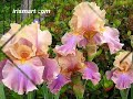 BEARDED IRISES - tall bearded iris flowers, beautiful home gardening, plant care