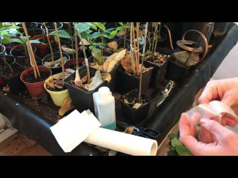 Cherimoya veredeln / Exotic Fruit Garden / Challenge Ankündigung mit dem Baumtagebuch