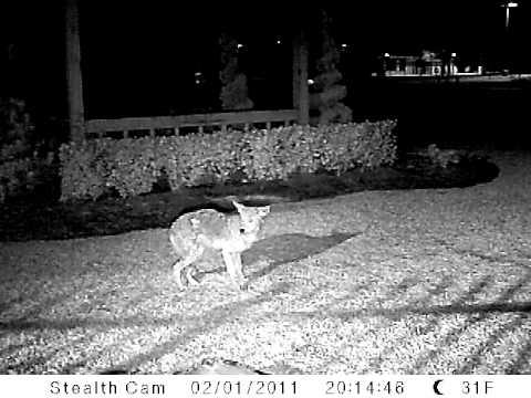 Coyote shot with .25 Caliber Benjamin Marauder Air Rifle