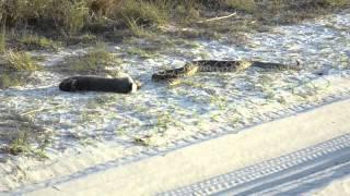 MUST SEE: SNAKE ATTACKS RABBIT FROM BEHIND  (Myakka, FL)